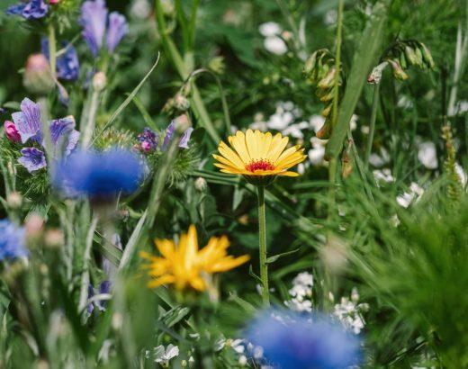 Blühwiesen-Patenschaften