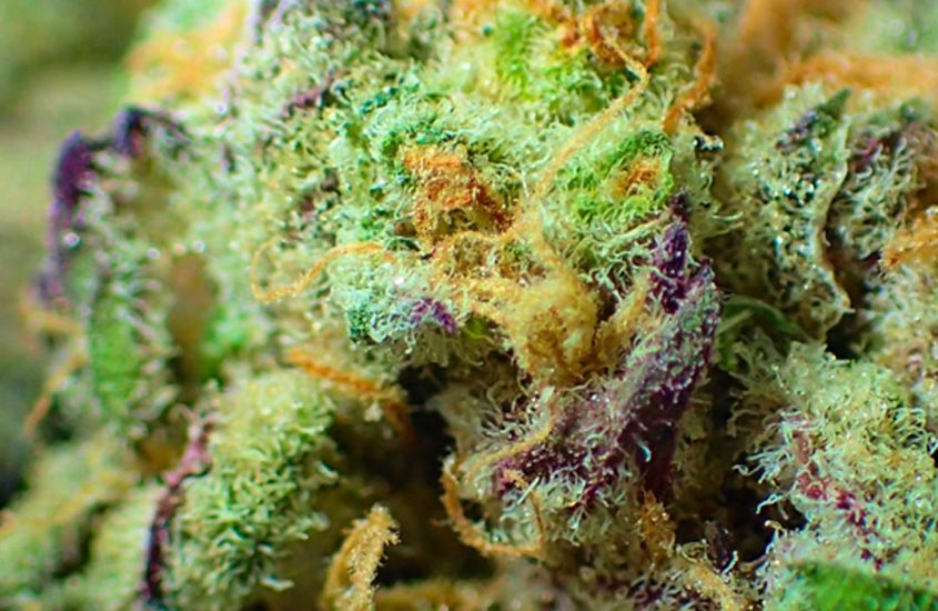 CBD – legales Cannabis